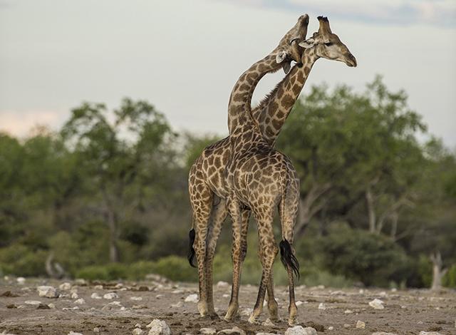 Giraffe Courtship