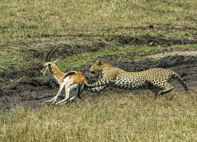 Leopard killing Thomson's gazelle